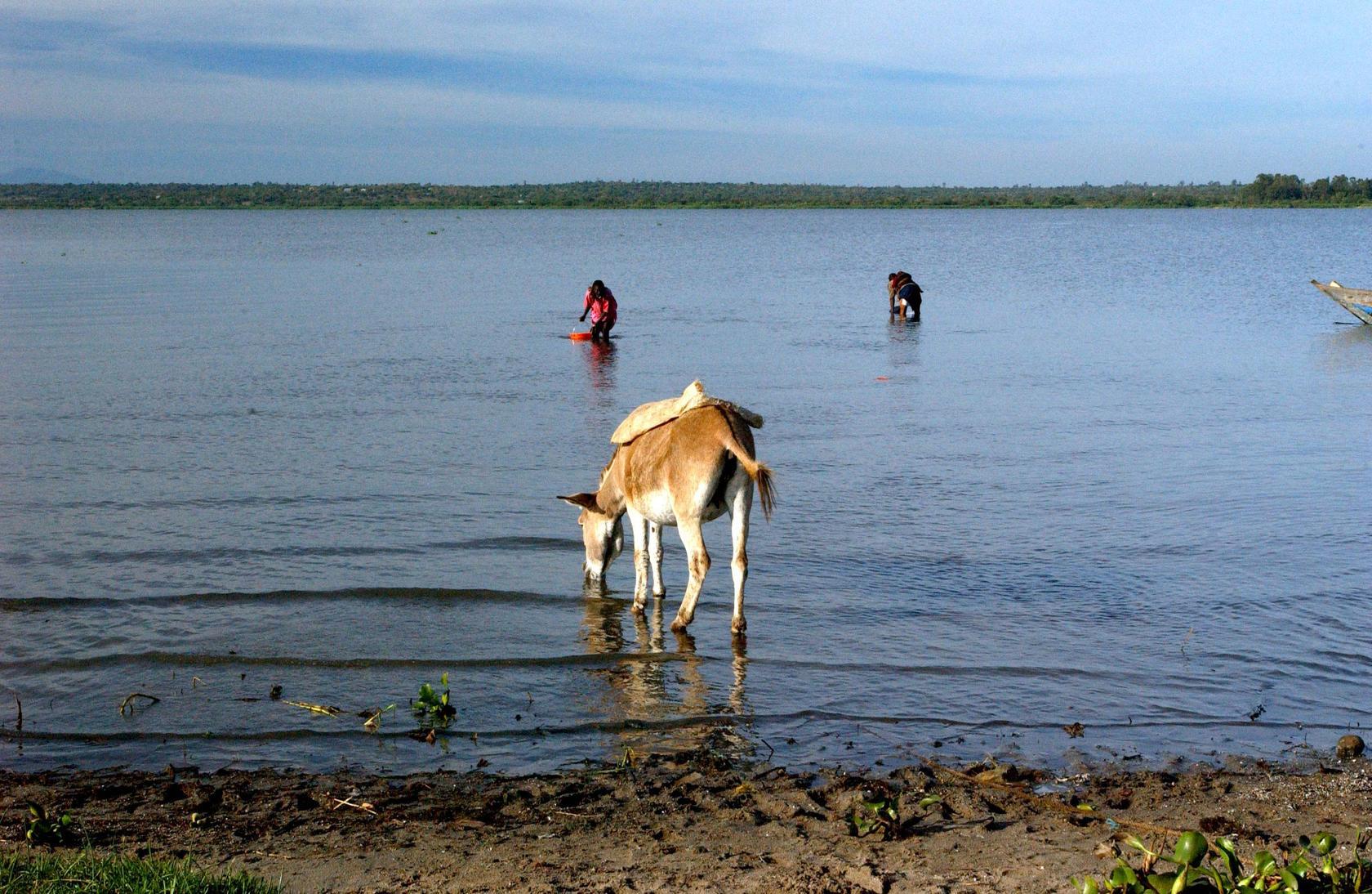 Bondo, Kenya.  Los aldeanos que no tienen acceso al agua limpia se ven obligados a recoger su agua potable del lago Victoria. África. ©FAO