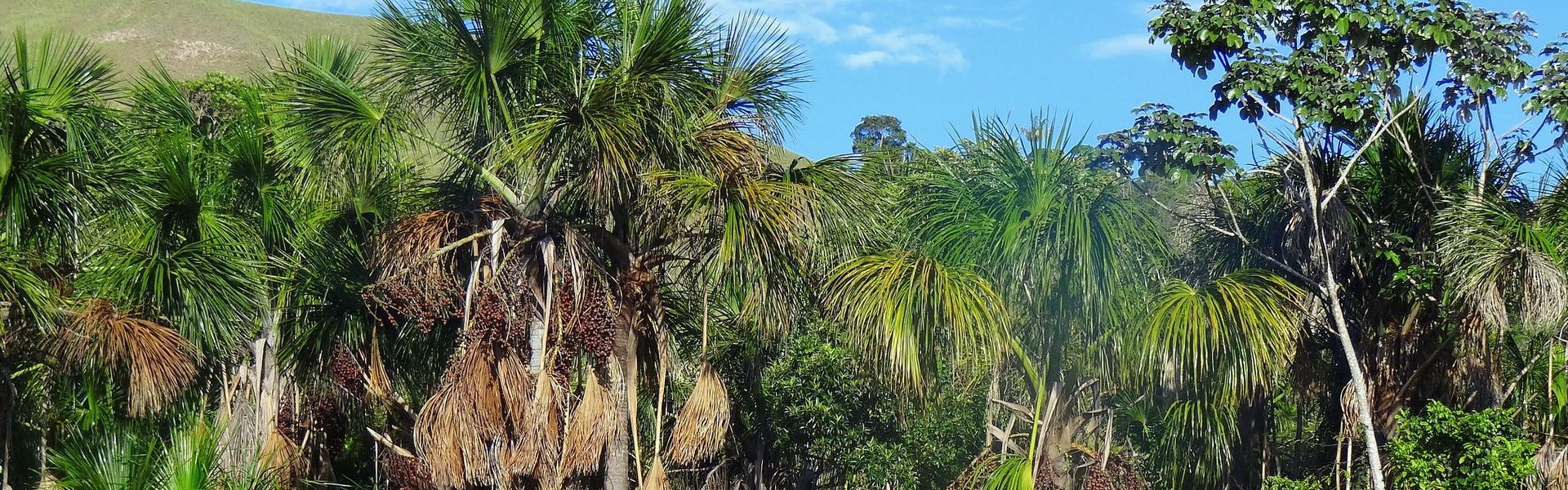 palmtrees buruti