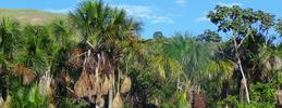 palmeras buruti