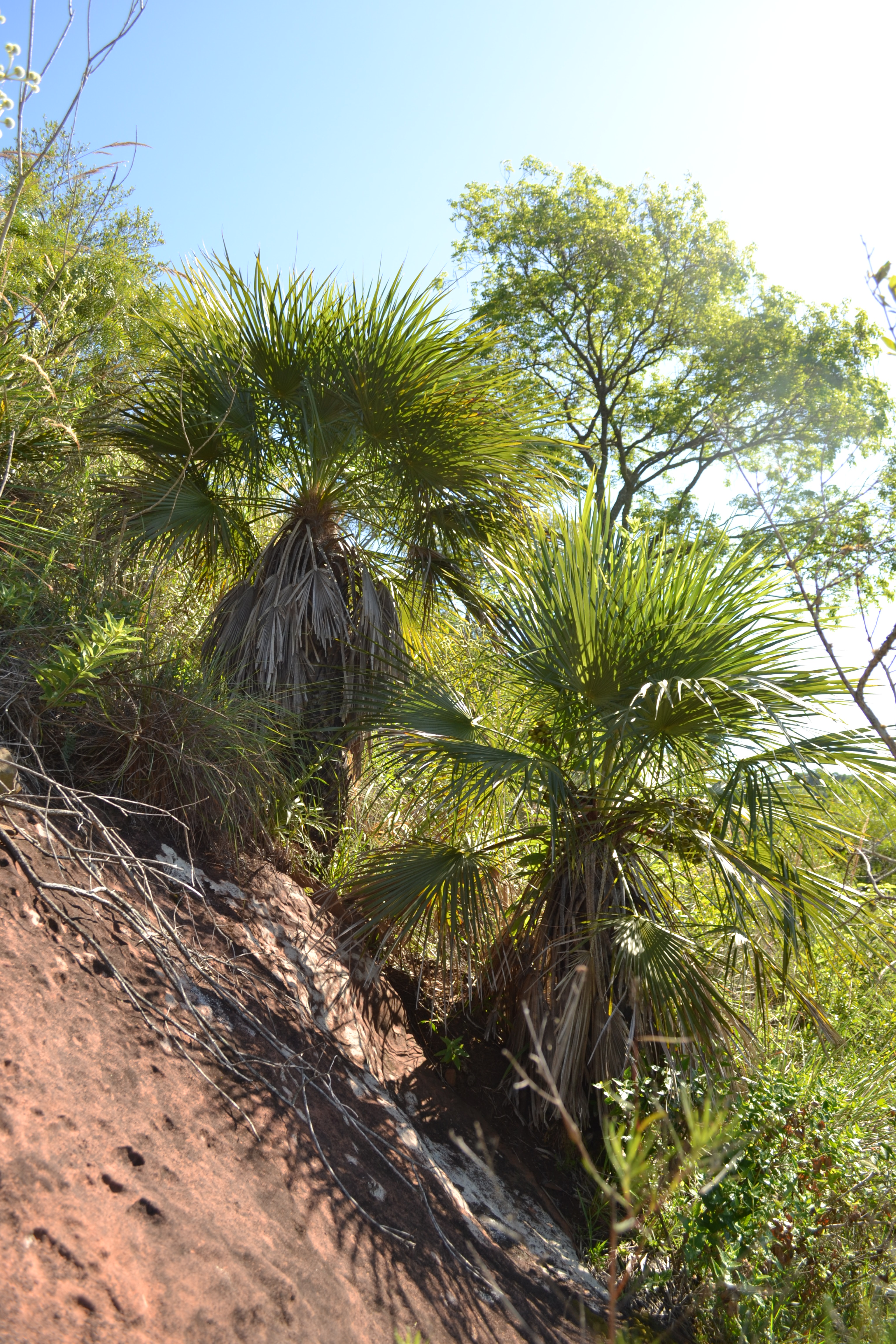 palm tree thisrt soil