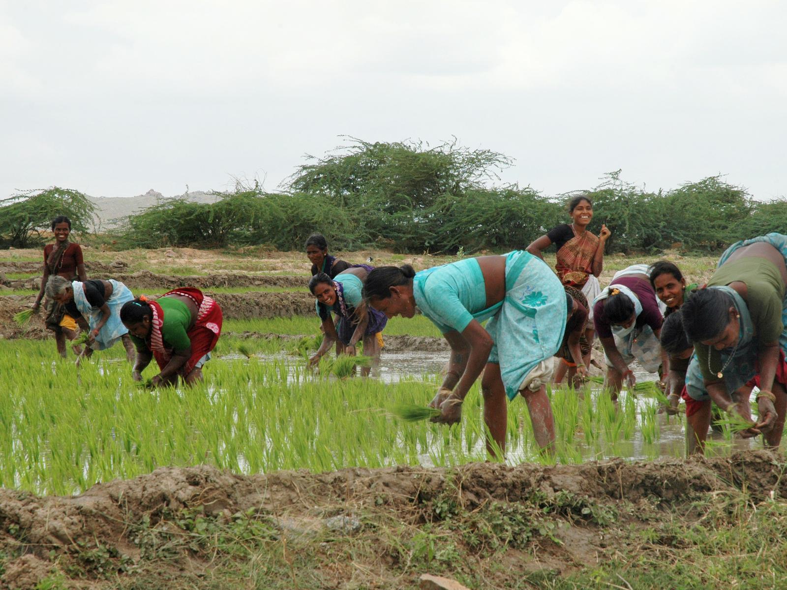 india mujeres recolectando en los campos