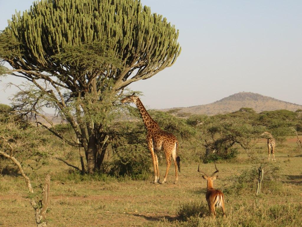Canadalabra tree, giraffe, imapala